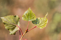 Dry leaves of poplar Royalty Free Stock Images