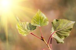 Dry leaves of poplar Stock Photos
