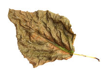 Dry leaves of poplar photo manipulation Royalty Free Stock Image