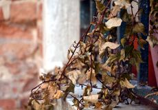 Dry leaves in pots at a window in Venice. Romantic image of dry leaves of some plants in pots placed at the corner of a Venetian window, vintage natural image stock photos