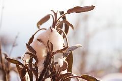 Dry leaves of sage in sunny snow. In my garden stock images