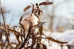 Dry leaves of sage in sunny snow. In my garden royalty free stock photo
