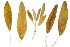 Dry leaves Royalty Free Stock Photo