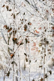 Dry leaves and shoots of clematis in white hoarfrost, close-up Stock Photo