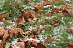 Dry leaves on the snowbound grass in park. Dry autumn leaves on the snowbound grass in park Stock Photography