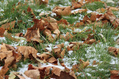 Dry leaves on the snowbound green grass in garden. Beautiful autumn day Royalty Free Stock Image