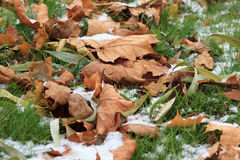 Dry leaves on the snowbound green grass in park. Dry autumn leaves on the snowbound green grass in park Royalty Free Stock Images