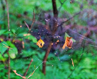 Dry leaves in a spider web Stock Photo