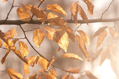 Dry leaves in the sunlight. Photo of dry leaves in the sunlight Stock Image
