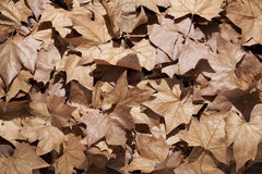 Dry leaves with sunlight Royalty Free Stock Photo