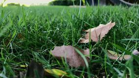 Dry leaves sway in green grass on windy day. Dry leaves lie down in green grass on windy day - slow motion, shot on mobile phone stock video footage
