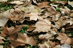 Dry leaves of a tree on an autumn day royalty free stock photos