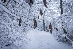 Dry Leaves on Tree Branch in Snow Stock Photography