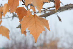Dry leaves on tree. Closeup dry leaf on tree Royalty Free Stock Images