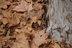 Dry leaves and tree trunk. Dry brown leaves scattered near tree trunk Stock Images