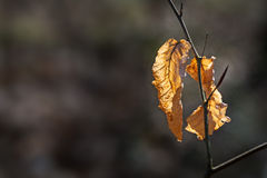 Dry leaves on a twig of a beech tree Royalty Free Stock Image