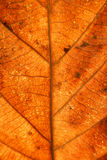 Dry leaves veins texture. Close up on leaf texture. Leaf veins m Stock Photography