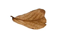 Dry leaves on white background. Dry autumn leaf of  isolated on white background Royalty Free Stock Image