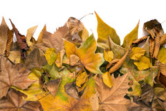 Dry leaves on white background Royalty Free Stock Images
