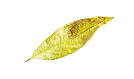 Dry leaves on white Royalty Free Stock Photos
