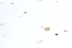 Dry leaves on white snow. Royalty Free Stock Images