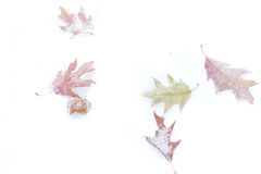 Dry leaves on white snow. Stock Photos