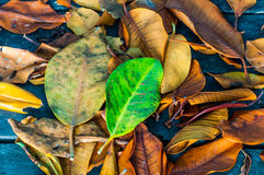 Dry leaves on a wooden walkway Royalty Free Stock Photo