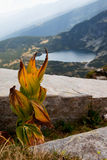 Dry leaves of Yellow Gentian (Gentiana lutea). Dry leaves of Yellow Gentian in the Rila mountains, Bulgaria, a lake on the background Stock Image