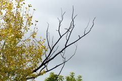 Dry lifeless branch on a tree with yellow foliage. In autumn against the overcast sky royalty free stock images