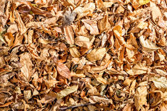 Dry Linden leaves Royalty Free Stock Images