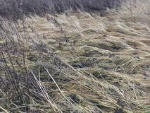 Dry lodged grass royalty free stock photo