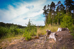 Dry lone stump white as bone. Around him have already begun to grow young trees Royalty Free Stock Image