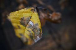 A dry and lonely beech leaf witnesses arrival of autumn stock image