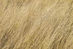 Dry Long Grass Stock Photography