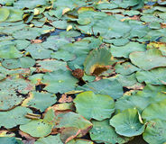Dry lotus leaf fruit is on water Stock Photography