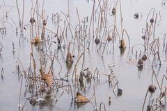 Dry lotus leaf, ice Stock Photo