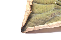 dry lotus leaf on white background Royalty Free Stock Photography