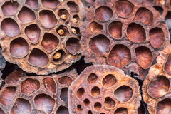Dry lotus pods with some seeds and empty holes close up for back ground. Seed stem. Amazing plant design. Dry lotus pods with some seeds and empty holes close up Royalty Free Stock Images