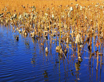Dry lotus pond Stock Images