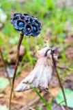 Dry lotus seeds closeup Stock Images