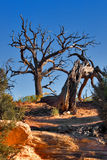 Dry and magnificent. Beautiful dried tree in Nature Bridge Park Royalty Free Stock Images