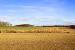 Dry maize in autumn Royalty Free Stock Photos