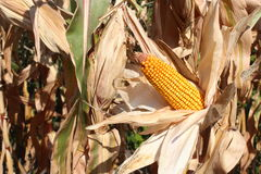 Dry maize ear in corn field Royalty Free Stock Photography