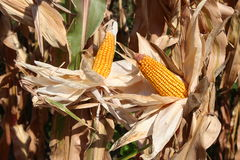 Dry maize ear in corn field Royalty Free Stock Image
