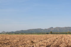 Dry maize field after harvest Stock Photo