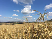 Dry Maize field Royalty Free Stock Images