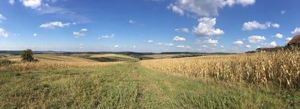 Dry Maize field panorama Stock Photo