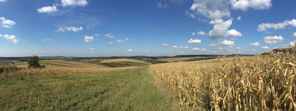 Dry Maize field panorama Royalty Free Stock Image