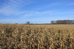 Dry maize plants Stock Photo