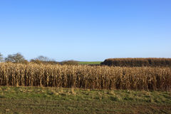Dry maize plants Royalty Free Stock Photography